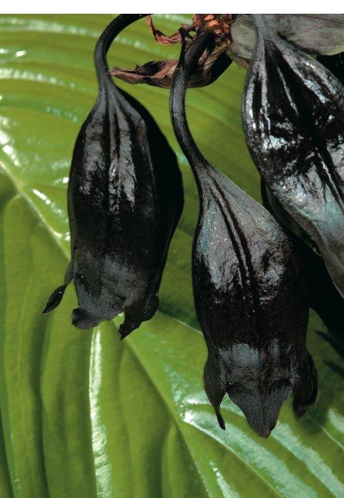 πιο παράξενα φυτά του κόσμου Batflowers allabout.gr