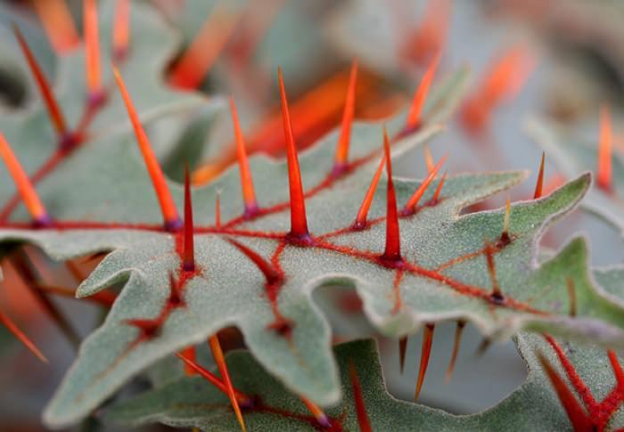 πιο παράξενα φυτά του κόσμου Porcupine tomato