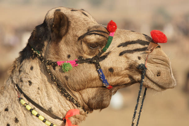 πιο παράξενα φεστιβάλ στον κόσμο Pushkar camel fair allabout.gr