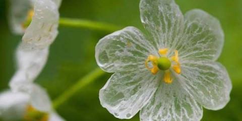 Παράξενο λουλούδι γίνεται διάφανο στη βροχή allabout.gr