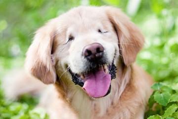 Τυφλός σκύλος βοηθά αναπήρους Smiley Golden Retriever