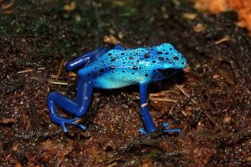 Μπλε βάτραχος, εξωτικός και επικίνδυνος
