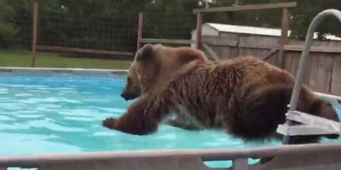 Το μακροβούτι της αρκούδας
