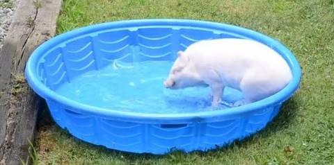 Το πιο χαζoχαρούμενο γουρούνι του ίντερνετ βουτάει στο νερό και «τρελαίνεται».