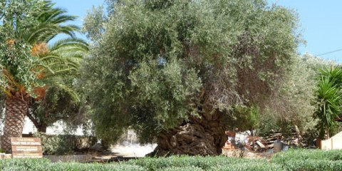 Η αρχαιότερη ελιά του κόσμου!