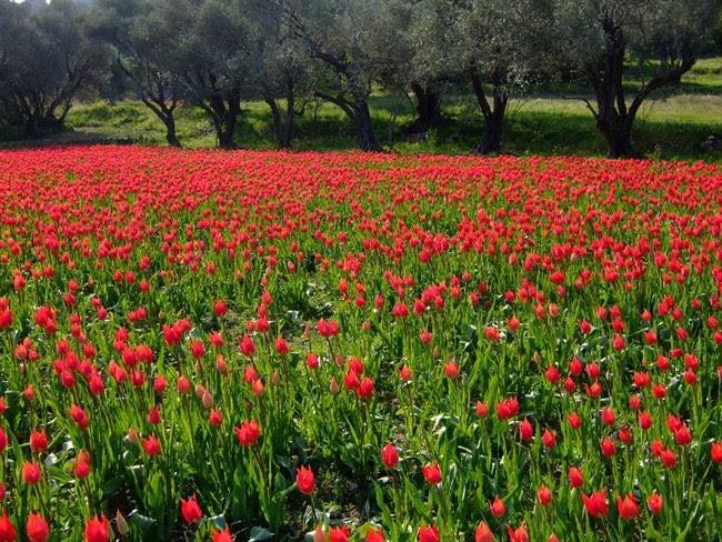 Ποιο ελληνικό νησί γεμίζει με τουλίπες αυτή την εποχή;
