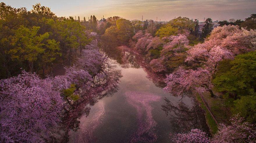κερασιές χρωμάτισαν μια ολόκληρη λίμνη μωβ