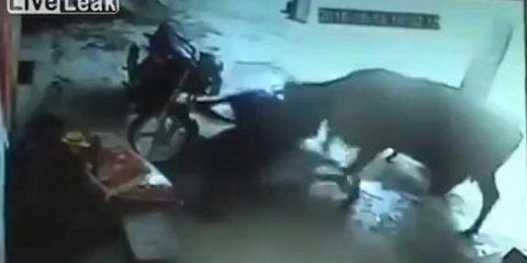 Αγελάδα προσπαθεί να αποτρέψει δολοφονία κοριτσιού